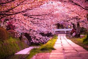 cherry-blossoms-sakura-spring2